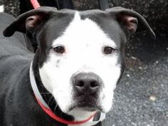 SNOOPI is an adoptable Pit Bull Terrier Dog in New York, NY. A staff member writes: Snoopi is a lovely, lithe youngster who is a pleasure to be around. Animated and upbeat, he is the one you want to v...