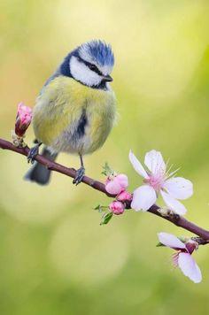 drxgonfly: Blue tit (by Roger Pujol) Wallpaper HD Cute Birds, Pretty Birds, Small Birds, Colorful Birds, Little Birds, Beautiful Creatures, Animals Beautiful, Most Beautiful Birds, Blue Tit