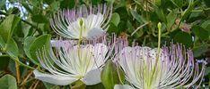 Her derde deva olarak bilinen kapari çiçeği, uzun yıllardır birçok alanda kullanılıyor. Kapari çiçeği doğal olması sebebiyle te...