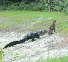 Bobcat and Alligator... from Florida Wildlife Commission.. and yes, the cat got away... had his itune head set on I guess...