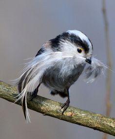 bird with mustashe