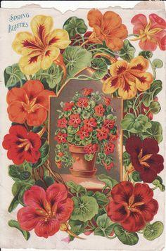 Antique Victorian Print Seed Catalog Flowers Geraniums