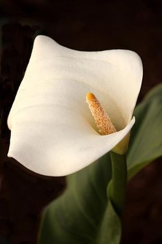 White Lily By Sheryl Young