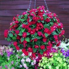 Impatiens Hanging Baskets