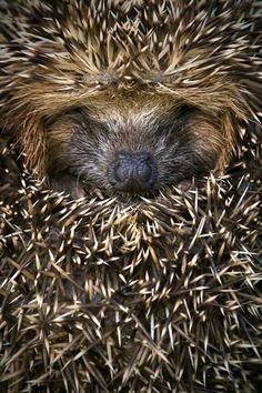 """Hedgehog.       (""""Egel."""")"""