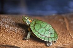 Turtle. I remember when Baby looked like this!