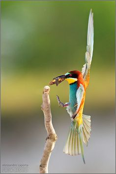 Time for Lunch- Bee-Eater -You may like video: https://www.youtube.com/watch?v=-xeEQnIaKws - Image Source: http://www.flickr.com/photos/alessandrolaporta/5553537802/