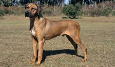 Rhodesian Ridgeback - The Best Dog Breeds For Families With Children - Photos Best Dog Breeds, Cat Breeds, Best Dogs, Rhodesian Ridgeback, Pet News, Dog Fence, Beautiful Dogs, Mans Best Friend, Pet Care