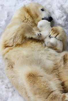 Tender mother bear's love for her cub.