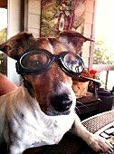 "Hootie was turned over to a high-kill shelter because he was near-sighted. He was adopted and fitted for ""prescription Doggles"". Ain't he sporty?"