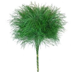 A fresh bulk green, Tree Fern serves as wonderful decorative filler. Bushy in appearance, this green averages 15-22 inches in length and features delicate and airy foliage. Use Tree Fern by itself or combine it with any of our bulk flowers to create soft and romantic wedding bouquets, table...