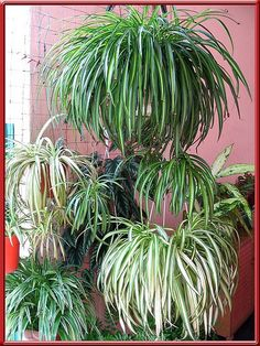 Benefits of Plants, Air Quality, Living plants, Philodendron, Spider plant, Golden Pothos