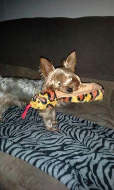 When Arthur gets a new toy he carries it till he falls asleep.