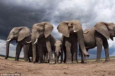 Los animales grandes (megafauna) como los elefantes, los rinocerontes y osos polares, son los que enfrentan el mayor peligro de extinción.