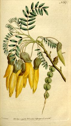 The_Botanical_Magazine,_Plate_167_(Volume_5,_1792).png 1.789×3.185 pixels