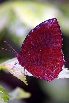 20 Beautiful Butterflies and Marvelous Moths - meowlogy Butterfly Kisses, Butterfly Flowers, Butterfly Chrysalis, Flying Flowers, Purple Butterfly, Beautiful Bugs, Beautiful Butterflies, Beautiful Creatures, Animals Beautiful