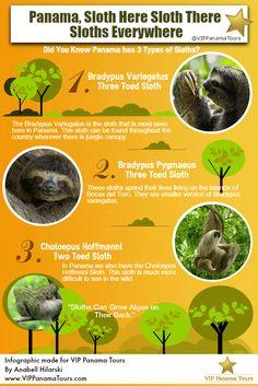 Panama, Sloth Here Sloth There Sloths Everywhere - @VIPPanamaTours