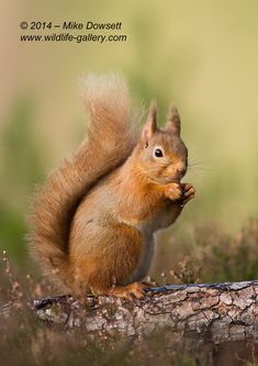 Cute Red - A really cute Scottish Red Squirrel - Look at those ears !  by Mike Dowsett