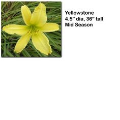 """Yellowstone"" daylily $4.50 per double fan at Smithdaylilies.com"