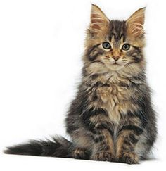 101 best furry creature images doggies fluffy animals for Koi pond maine coon cattery