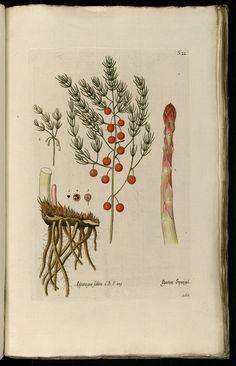 Knorr, G.W., Thesaurus rei herbariae hortensisque universalis, vol. 1: t. 168 (1750-1772)