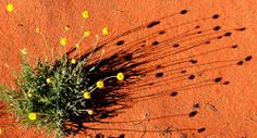 Want to know how to get the most out of your trip to Uluru - Kata Tjuta and Watarrka - Kings Canyon National Parks? Red Centre, Wild Flowers, National Parks, Wildlife, Australia, Adventure, Garden, Photography, Garten