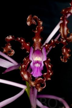 Schomburgkia splendida - Epiphyte from Ecuador and Colombia. The generic name honours the German botanist Richard Schomburgk. Now it is Laelia splendida, by the way.-  by Pterodactylus69, via Flickr