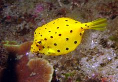 *Flexi Yellow Puffer Fish*