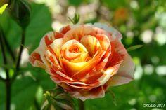 Rose.3 by malaladanila.deviantart.com