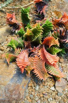 Haworthia viscosa torquata (by flora-file)