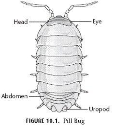 Arthropod Behavior-Pill bug