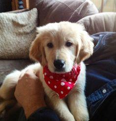 My new light golden retreiver puppy Deke