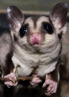 Sugar Glider----> Def getting this for Steph! Cute Creatures, Beautiful Creatures, Animals Beautiful, Sugar Glider Baby, Sugar Gliders, Animals And Pets, Baby Animals, Cute Animals, Sugar Bears