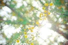 Sweet Acacia Flowers by Katie Tenn Photography on @creativemarket