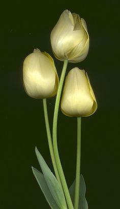 04940 Tulipa - yellow 351