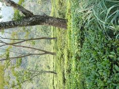 Tea Field at Glenburn Tea Estate, Darjeeling, India!
