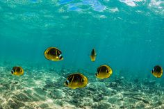 School of Raccoon Butterflyfish along Coral Reef off Big Island of Hawaii by Lee Rentz, via Flickr