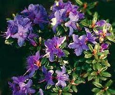 ++ Rhododendron Impeditum Blumira 198 Zon 1-4 RÅ