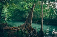 https://flic.kr/p/HLCqfw | Ginnie Spring Run | This was shot during my second visit to Ginnie Springs, which I made in May of this year.  Ginnie is the title spring at Ginnie Springs and one of the more popular locations at the campground located outside of high springs.  Ginnie has a swimming area with a welcome mix of shallow and deep swimming areas, providing a good location for all ages.  The run of Ginnie is maybe 100 yards or so to the Sante Fe River.