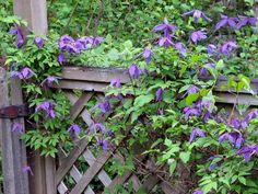 clematis montana sorte wei schlingpflanze balkon gel nder elul ng clematis pinterest. Black Bedroom Furniture Sets. Home Design Ideas
