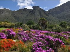 My place to think, catch-up with myself , embrace and enjoy nature's fauna and flora and soo much more -Spring flowering plants at Kirstenbosch - SANBI