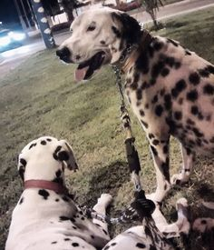 Só observando o movimento! Kkkkk  Good Night my friends  #dalmata  #dalmatas #dalmatian #dalmatian  #dalmation  #dalmatianlove  #dalmataslove  #dalmatasbrasil  #dalmatians_of_instagram  #instapet #instadog #cachorros #brasil #Cuiaba #matogrosso  #amomeudalmata #dalmatiannational #dalmatianclub #lovedalmatian  #passeio #avenida #amo #goodnight by apolloemeg #lacyandpaws
