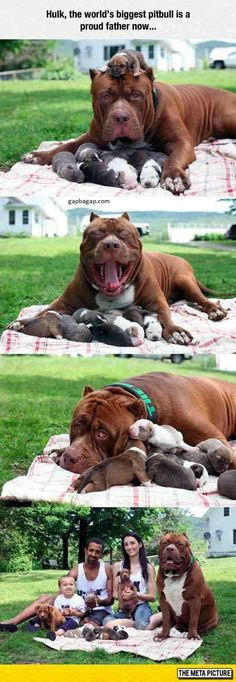 Funny Pictures Of The World's Biggest Pitbull