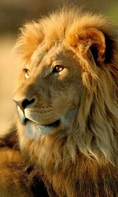 Lion Photography, Wild Animals Photography, Lion Images, Lion Pictures, Lion King Art, Lion Of Judah, Beautiful Lion, Animals Beautiful, Lions Photos