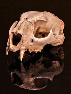 Mountain lion skull Photo by: Trevor Adler Photography