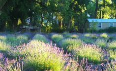 Purple Adobe Lavender Field
