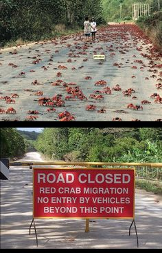 Annual Red Crab Migration on Christmas Island: At the beginning of the wet season (which is usually October / November), over 50 million adult red crabs suddenly start migrating from the forest to the coast.