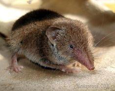 Кто такая землеройкаЗемлеройкой называют одно из самых маленьких наземных млекопитающих. Но, несмотря на его размеры, вред, приносимый ее работой, может быть просто огромным, так как они относятся к т...