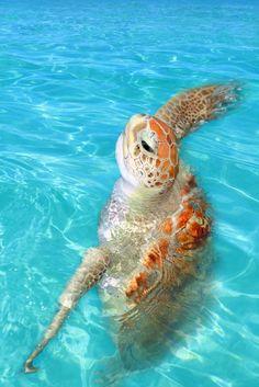 Tortugas marinas en la #RivieraMaya. La naturaleza se manifiesta de formas asombrosas en #Cancun. http://www.cancun-online.com/Cancun/Hoteles/