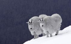 Rocky Mountains | ... , Images, mountain goats rocky mountains wide.jpg 1920 x 1200